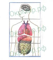Рабочая тетрадь (Плешаков) 2 часть - 4. Здоровье и безопасность. Строение тела человека, ответ 2