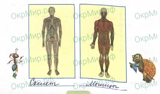 Рабочая тетрадь (Плешаков) 1 часть - 3. Мы и наше здоровье. Опора тела и движение, ответ 1