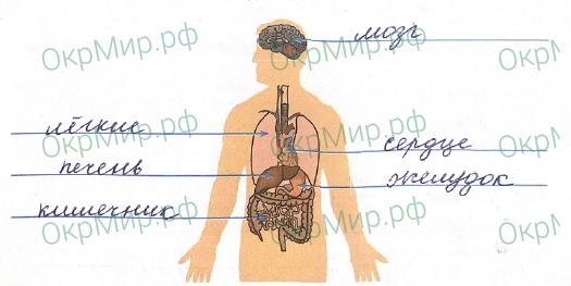 Рабочая тетрадь (Плешаков) 1 часть - 3. Мы и наше здоровье. Организм человека, ответ 2