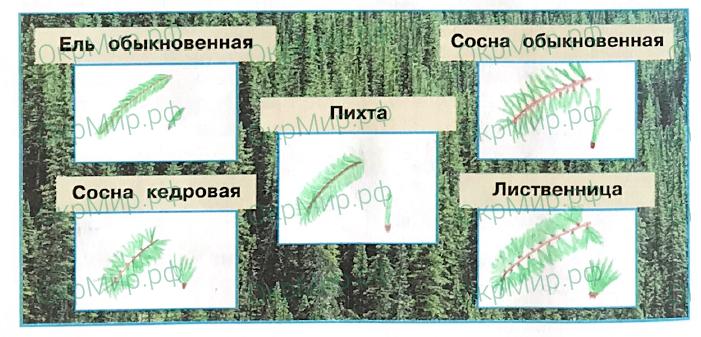 Рабочая тетрадь (Плешаков, Крючкова) 1 часть - 2. Природа России. Леса России, ответ 5